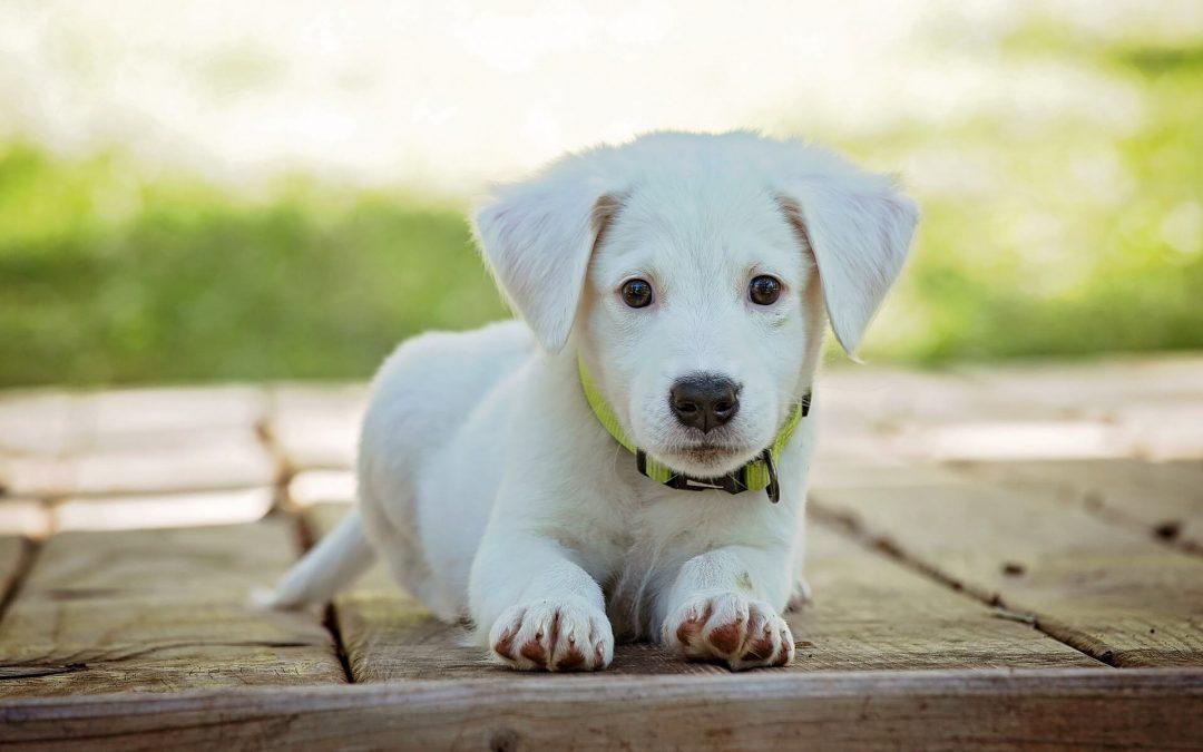 microchip-puppy